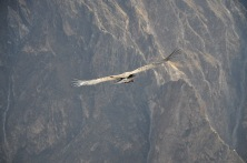 Condors in the Colca Canyon just outside Arequipa