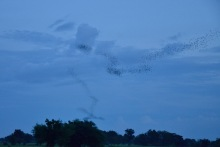 Bat formations over fields in Battambang